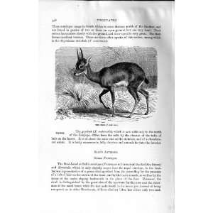 NATURAL HISTORY 1894 ORIBI WILD ANIMAL AFRICA PRINT