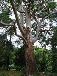 SYDNEY BLUE GUM Eucalyptus saligna   200+EXTRA seeds