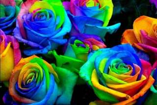 Semillas de Rosa ARCOIRIS RAINBOW ROSE SEEDS flores colores flowers