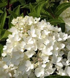 Little Lamb Hydrangea paniculata   Pristine White   Proven Winners
