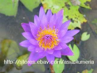 10 LIVE TINA WATER LILY PLANTS BULB LOTUS POND +FreeDoc