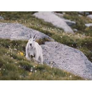 Mountain Goat Walks Through Field of Alpine Flowers Photographic